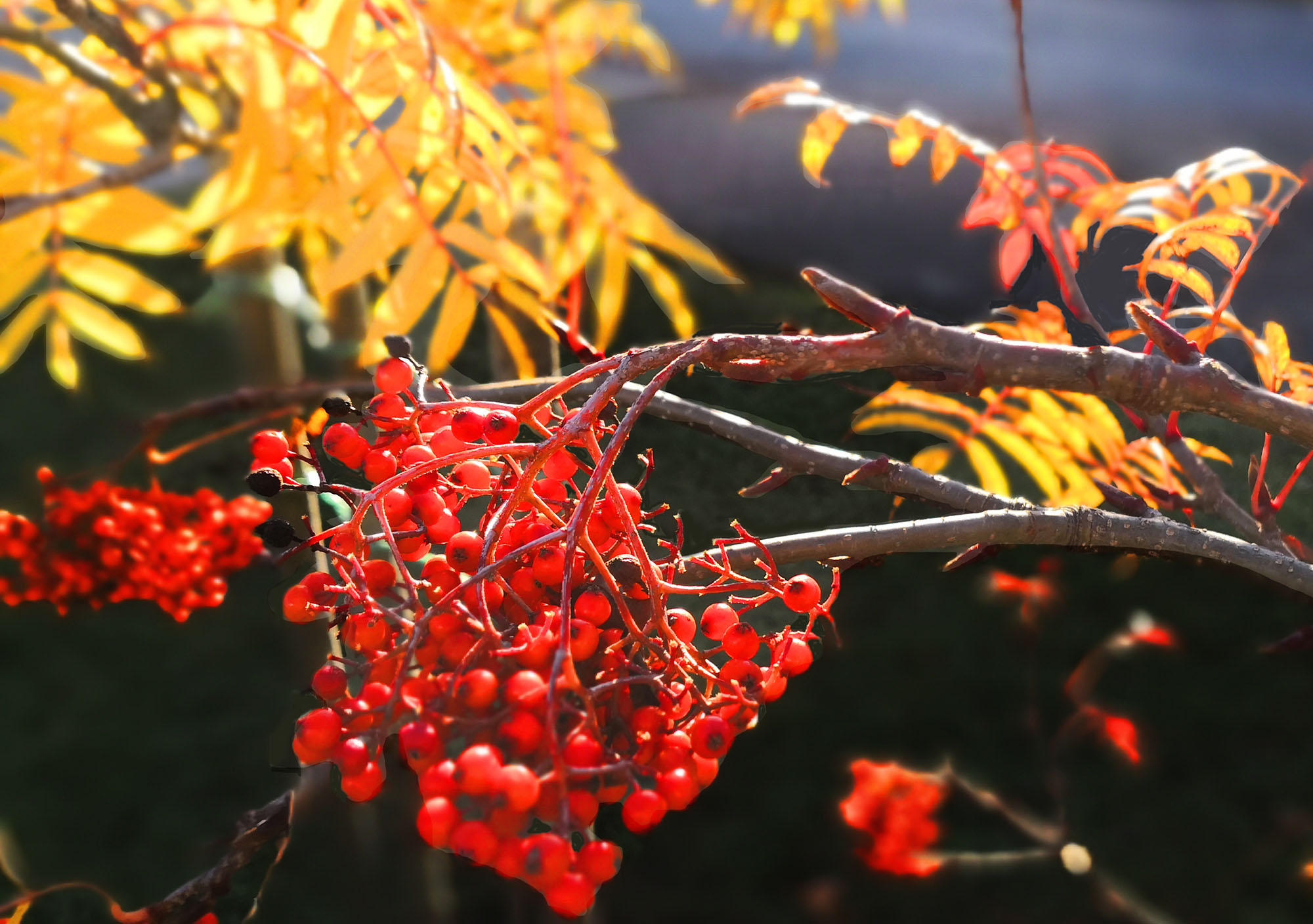 Гроздь рябины осенью картинки